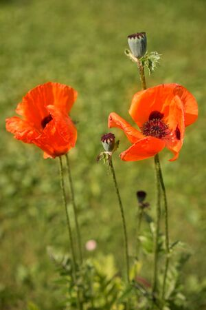 papaver rhoeas: Corn Poppy Flowers Papaver rhoeas in Spring
