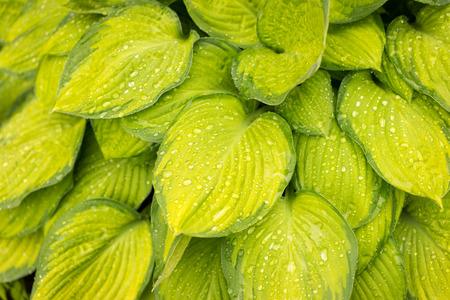 hosta: hosta leaves after a rain