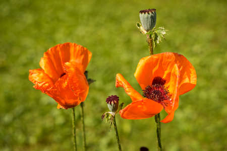 papaver: Corn Poppy Flowers Papaver rhoeas in Spring