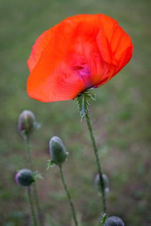 papaver: Corn Poppy Flowers Papaver rhoeas in Spring