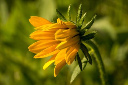 bright eyed: Bright yellow rudbeckia or Black Eyed Susan flower in the garden