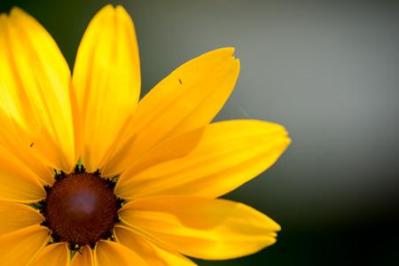 susan: Bright yellow rudbeckia or Black Eyed Susan flower in the garden