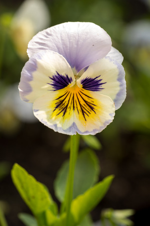 cytotoxic: Heartsease (Viola tricolor) fine flowers against a greenish background Stock Photo