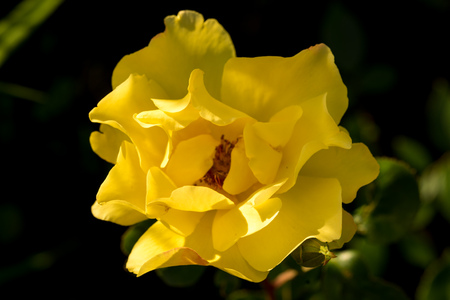 flower close up: yellow rose flower close up