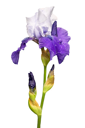 blue and white iris flower isolated on white background