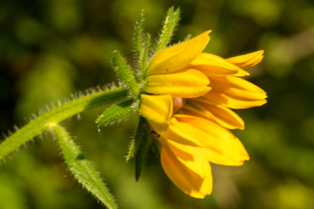 hirta: Macro of Rudbeckia hirta flower, Asteraceae spp, kwnon as Black-eyed Susan.