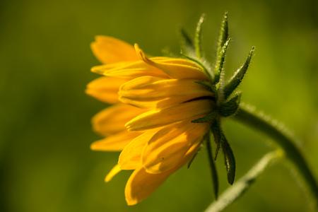 susan: Macro of Rudbeckia hirta flower, Asteraceae spp, kwnon as Black-eyed Susan.