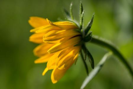 asteraceae: Macro of Rudbeckia hirta flower, Asteraceae spp, kwnon as Black-eyed Susan.