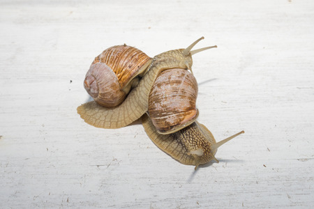 hermaphrodite: two big snails posing
