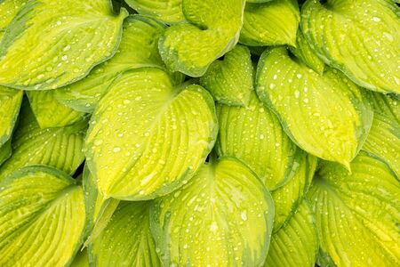 leaves green: Yellow wet hosta leaves background