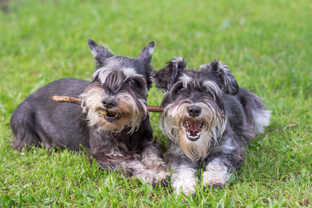 two mini schnauzer dogs playing one stick together on the grass Stockfoto