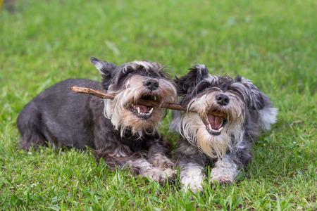 animals together: two mini schnauzer dogs playing one stick together on the grass Stock Photo