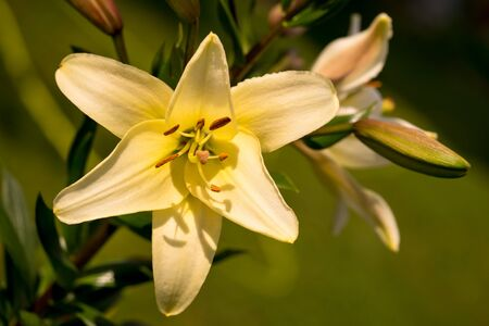 asiatic: Vibrant yellow colored Asiatic Lily flower Stock Photo