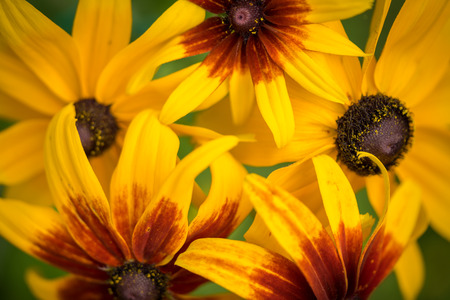 hirta: A Black-eyed Susan (Rudbeckia hirta) flowers in the midst of a flower bed.