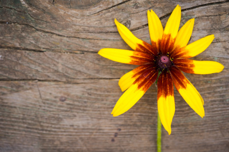 bright eyed: Bright yellow rudbeckia or Black Eyed Susan flower on an old wooden background Stock Photo