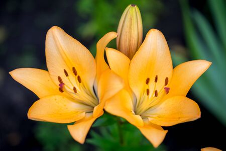 flori culture: Yellow Lily Flowers in the Garden
