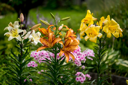 yellow blossom: Group of orange, yellow, white color lily flowers blossom in the garden