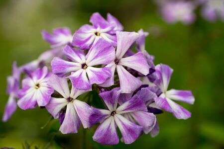stellate: Blooming Phlox paniculata, Polemoniaceae Stock Photo
