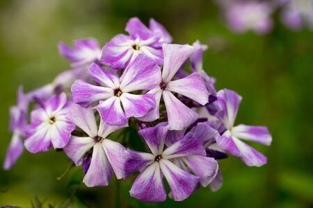 stellate: Blooming Phlox paniculata, Polemoniaceae Stock Photo