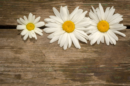 copyspace: three chamomile flowers on a wooden background with copyspace.