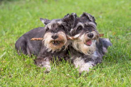 two black and silver miniature schnauzer dogs playing one stick together on the natural grass background