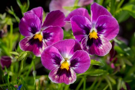botanical garden: Botanic gardening plant nature image: group of three bright violet pansy (viola tricolor, Viola cornuta) closeup among green plants over blurred background.