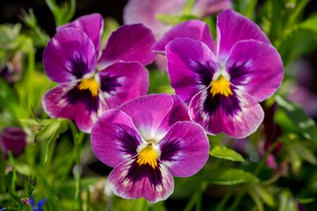 group of plants: Botanic gardening plant nature image: group of three bright violet pansy (viola tricolor, Viola cornuta) closeup among green plants over blurred background.