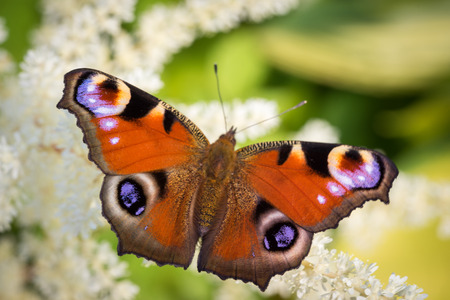inachis: European Peacock butterfly (Inachis io) on a white astilba flower close up