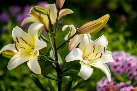 wide  wet: Beautiful yellow lilly close up in garden