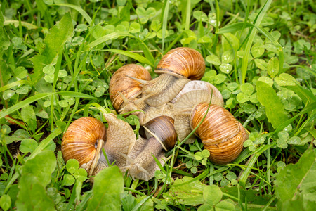 sneaking: Group of snails sneaking through a forest grass meadow Stock Photo