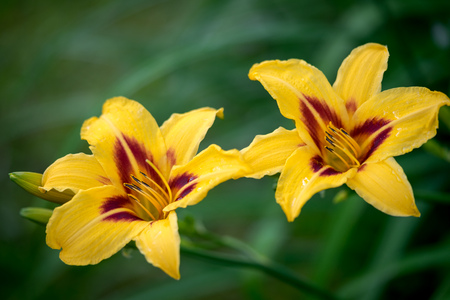 naturalized: two yellow daylily blooming in a garden Stock Photo
