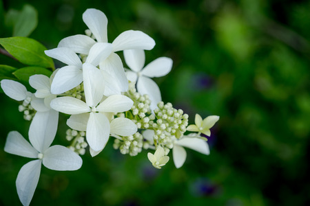 closedup: White Hydrangea - The Closed-Up White Flower For Decoration