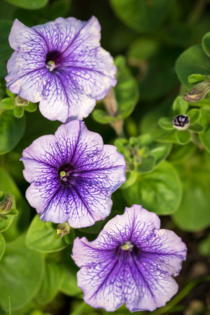 tight focus: petunia