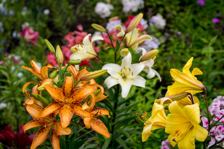 big leafs: Beautiful Big Orange Fire Lily with Buds and Leafs closeup outdoors