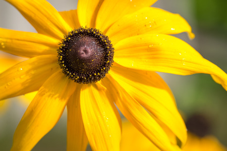 "marguerite: fleur ""Black-Eyed-Susan"" (ou Brown Betty, Gloriosa Daisy, J�rusalem d'or, Poorland Daisy, Jaune marguerite Banque d'images"