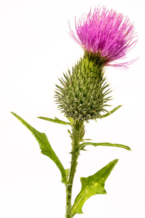 Silybum marianum -milk thistle flower-head isolated on white. Archivio Fotografico