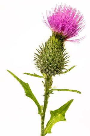 Silybum marianum -milk thistle flower-head isolated on white. Stockfoto