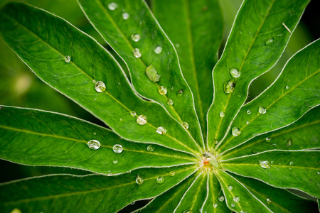 leaf water drop: Lupine leafs rain drops background