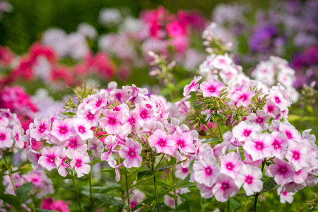 Phlox paniculata (Garden phlox) in bloom