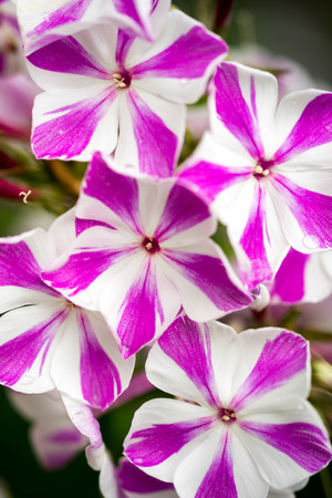 twist: Closeup of Phlox peppermint twist