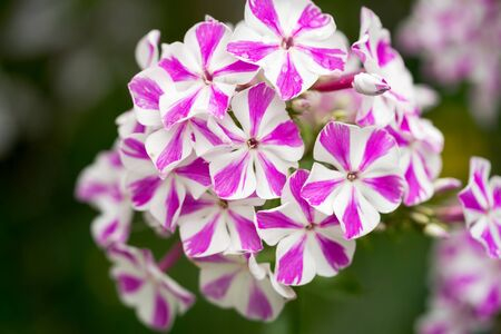 twist: Peppermint twist phlox in the garden