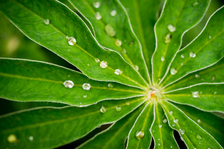 lupin: Green Lupin Flower Leaf with Multiple Waterdrops Stock Photo