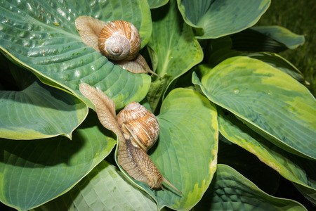 hosta: Two garden snail on green and yellow hosta leaves