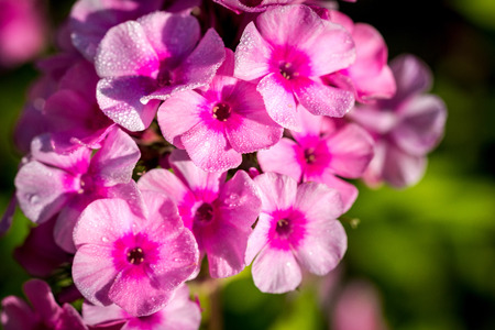zoomed: Small purple phlox flowers with water drops after rain