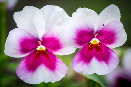 cytotoxic: Heartsease (Viola tricolor). Here are two fine flowers against a greenish background.