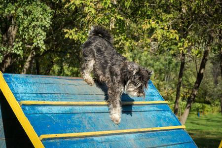 dog agility: Dog agility - miniature black and silver schnauzer exercising Stock Photo