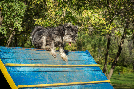 agility: Dog agility - miniature black and silver schnauzer exercising Stock Photo
