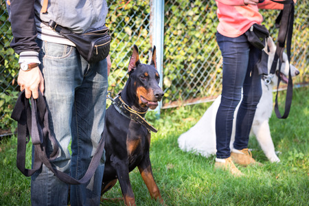 purebred dog: outdoor training process in dogschool Stock Photo