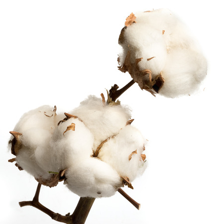Natural stem of cotton flowers producing raw cotton for textile industry Stock Photo