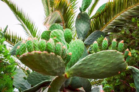 Wild bushes cactus Opuntia ficus-indica (sabra) lit by the sun Stock fotó